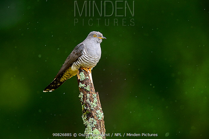 Cuckoo (Cuculus canorus) perched on lichen-covered branch in the rain. UK. June