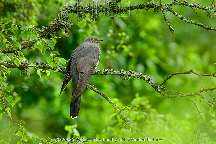 Cuckoo (Cuculus canorus) perched on tree branch. UK. June