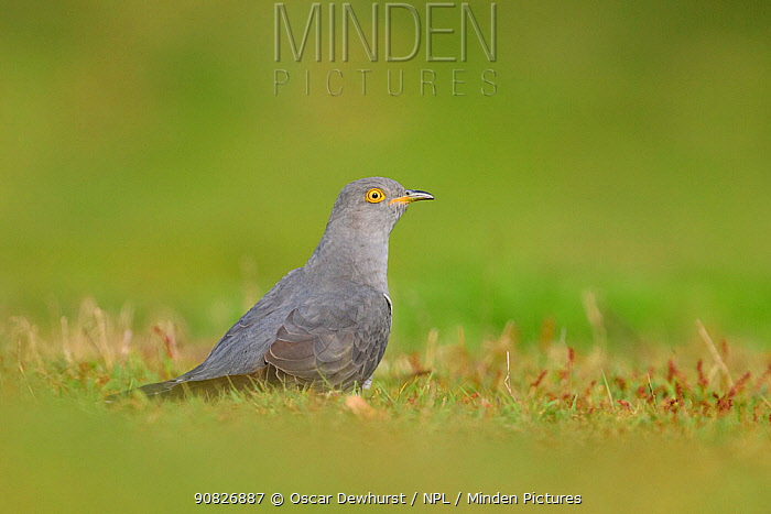 Cuckoo (Cuculus canorus) foraging on the ground. UK. April.