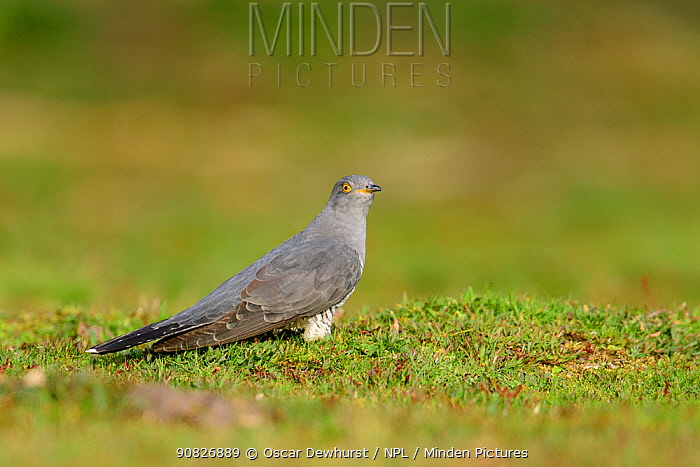 Cuckoo (Cuculus canorus) foraging on the ground. UK. April