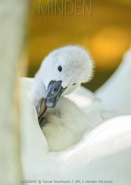 Mute swan (Cygnus olor) preening on its parent's back. London, UK. April.