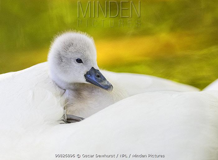 Mute swan (Cygnus olor) cygnet resting on parent's back. London, UK. April.
