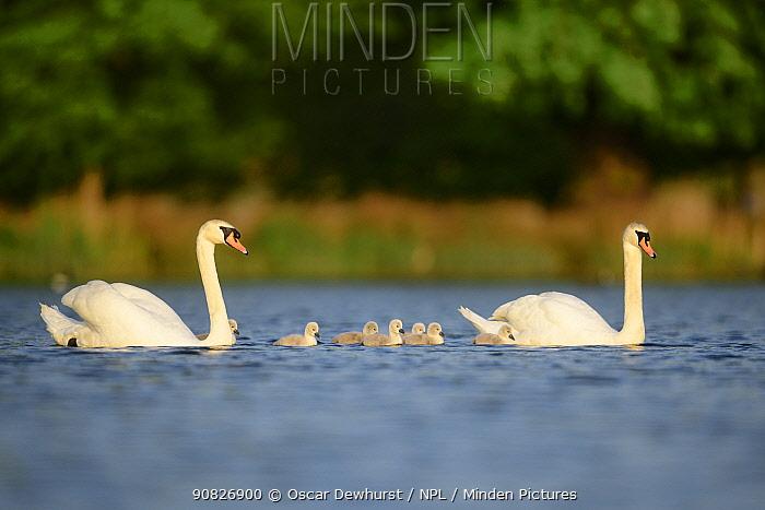 Mute swan (Cygnus olor) cygnets and parents swimming. London, UK. April