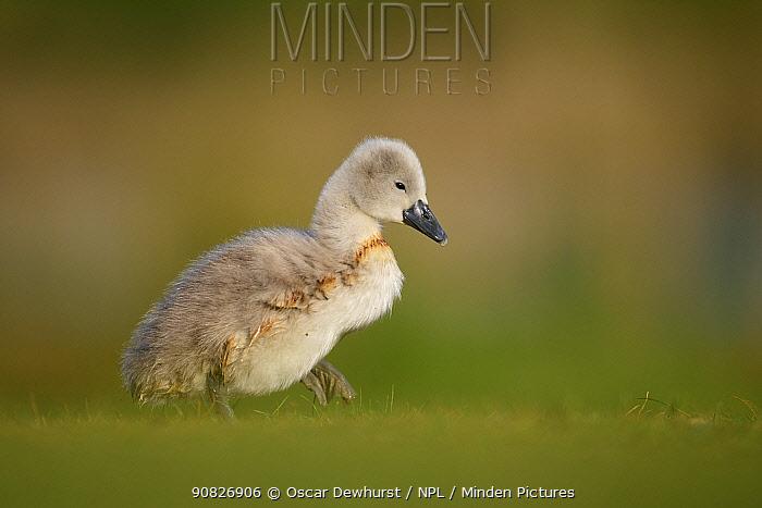Mute swan (Cygnus olor) cygnet walking across short grass. London, UK. May