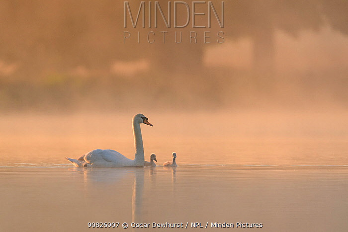 Mute swan (Cygnus olor) parent and cygnets on a misty lake at sunrise. London, UK. May.