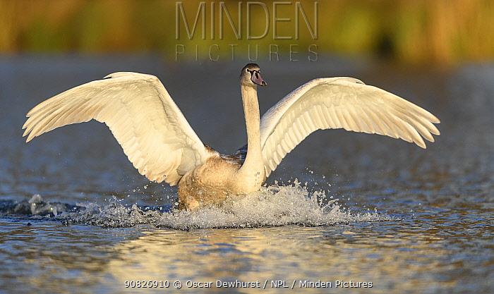 Mute swan (Cygnus olor) immature bird landing in the water. London, UK. November