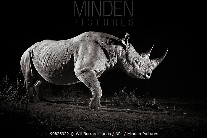 Black rhinoceros (Diceros bicornis) at night, Tsavo West National Park, Kenya. Camera trap image.