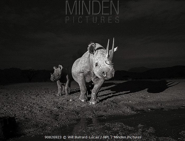 Black rhinoceros (Diceros bicornis) mother and calf, Tsavo West National Park, Kenya. Camera trap image.