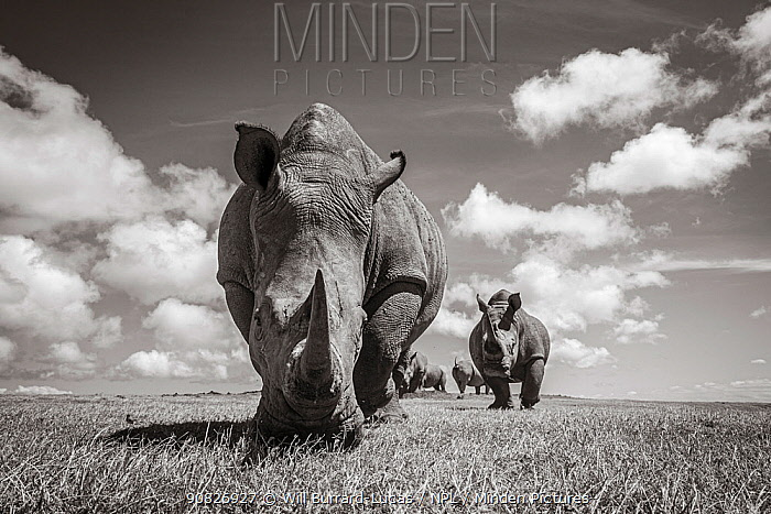 White rhino (Ceratotherium simum) group. Solio Game Reserve, Solio Ranch, Kenya. Taken with remote camera buggy / BeetleCam.