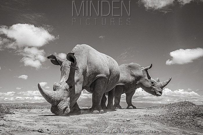 White rhino (Ceratotherium simum), portrait. Solio Game Reserve, Solio Ranch, Kenya. Taken with remote camera buggy / BeetleCam.