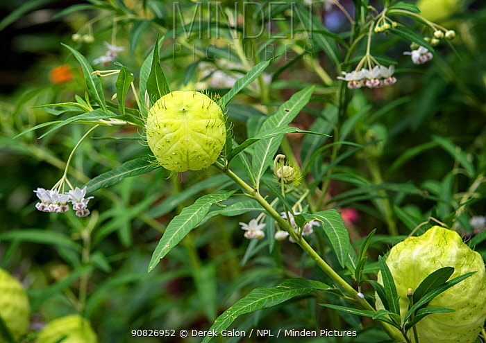 Balloon plant (Gomphocarpus physocarpus) with its striking ball-like fruits containing lots of air.  Dominica, West Indies. June.