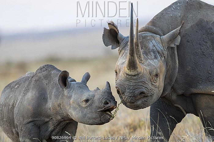 Black rhinoceros (Diceros bicornis) mother and calf, Lewa & Borana Conservancy, Kenya.