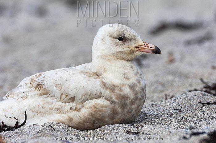 Iceland gull (Larus glaucoides) resting on beach, Varanger, Norway, July.
