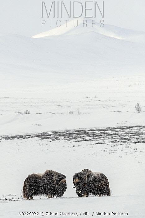 Muskox (Ovibus moschatos) males, Dovrefjell-Sunndalsfjella National Park, Norway, February.