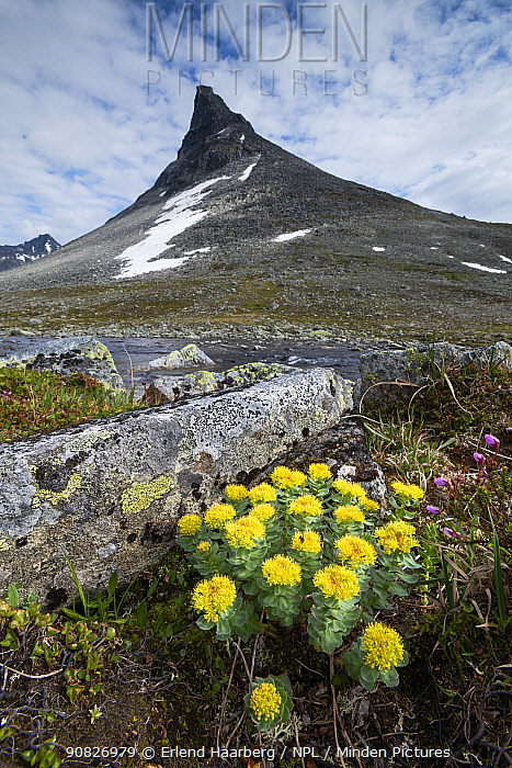 Golden root (Rhodiola rosea) in front of the mountain Kyrkja, Jotunheimen National Park, Norway, July.