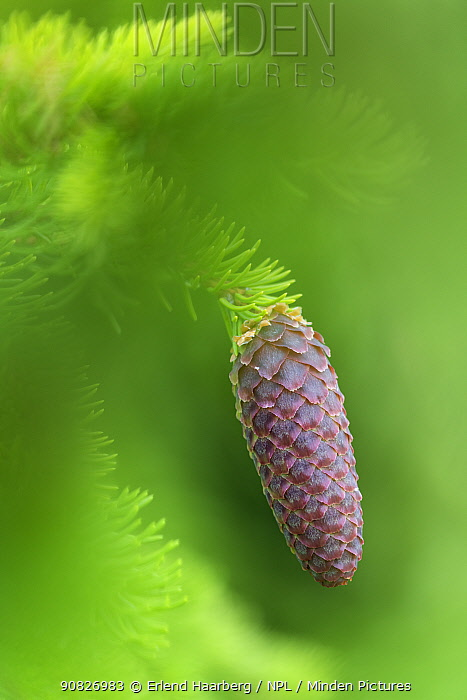 Norway spruce (Picea abies) cone, Innlandet, Norway, July.