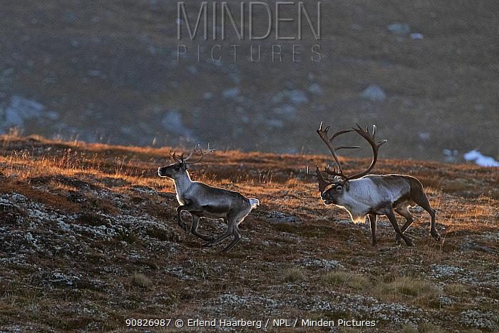 Wild reindeer (Rangifer tarandus) male chasing a juvenile, Forollhogna National Park, Norway, September.