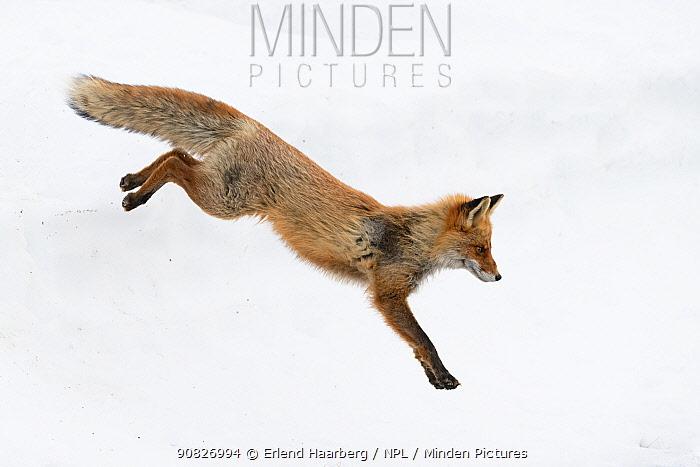 Red fox (Vulpes vulpes) jumping, Vauldalen, Norway, May.