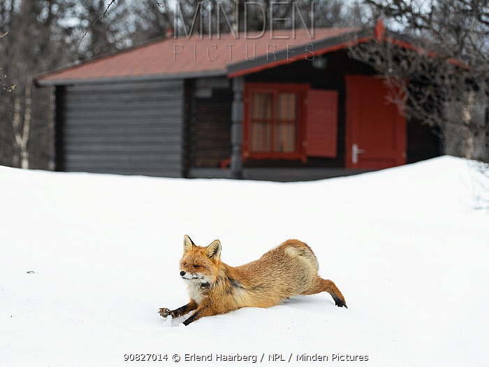 Red fox (Vulpes vulpes) stretching in spring snow, near wooden cabin, Vauldalen, Norway, April.