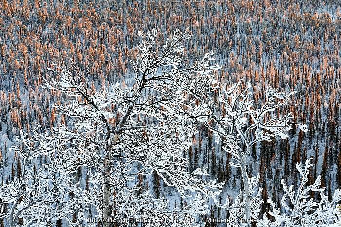 Frost- and snow-covered birch trees in the spruce forest (Picea abies), Muddus National Park, Laponia World Heritage Site, Swedish Lapland, Sweden, November,