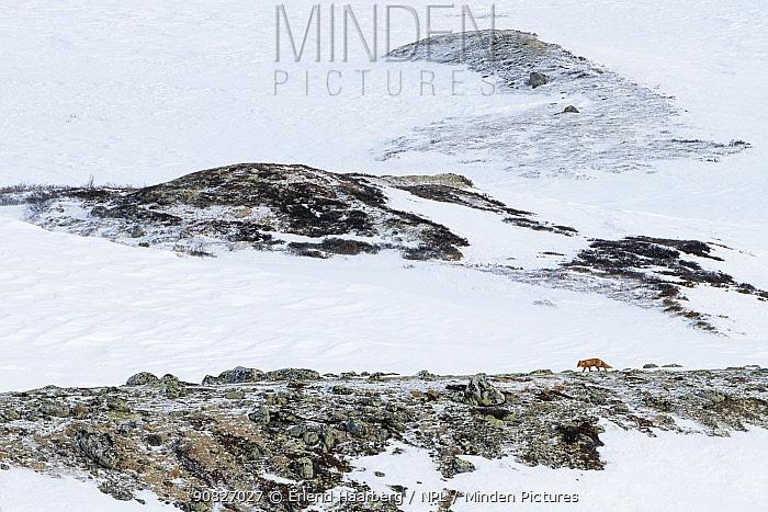 Red fox (Vulpes vulpes)i n snow-covered landscape, Dovrefjell-Sunndalsfjella National Park, Norway, February.