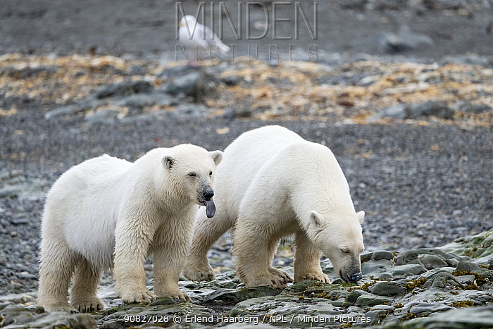 Polar bear (Ursus maritimus) female and juvenile on coast, Svalbard, Norway, August.
