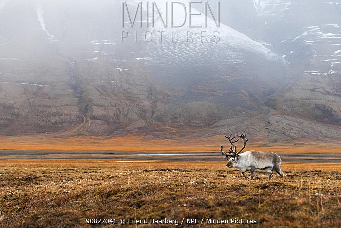 Svalbard reindeer (Rangifer tarandus platyrhynchus) male, Svalbard, Norway, September.