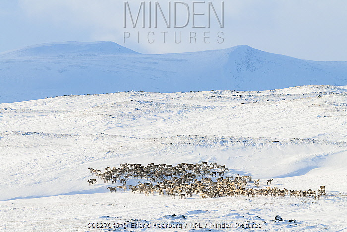 Wild Reindeer (Rangifer tarandus) herd Dovrefjell-Sunndalsfjella National Park, Norway, February.