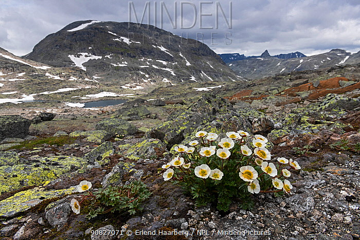 Glacier buttercup (Ranunculus glacialis) in front of the mountain Hogvagltindane, Jotunheimen National Park, Norway, July.