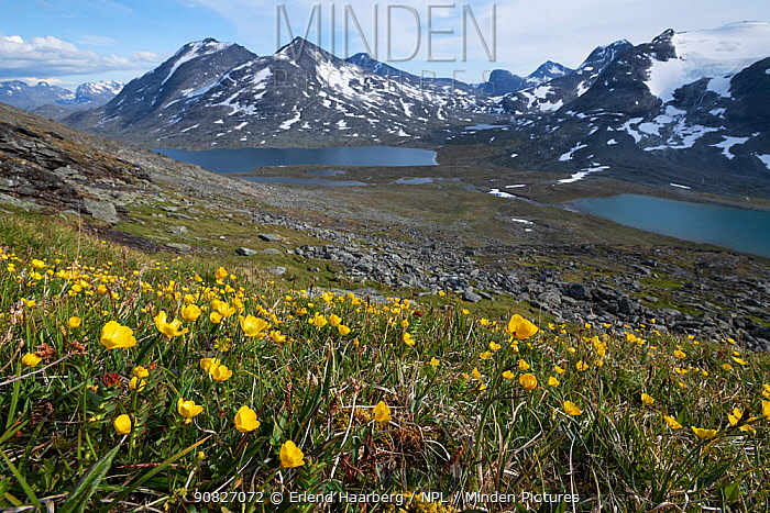 Buttercup flowers in Jotunheimen National Park, Norway, July.