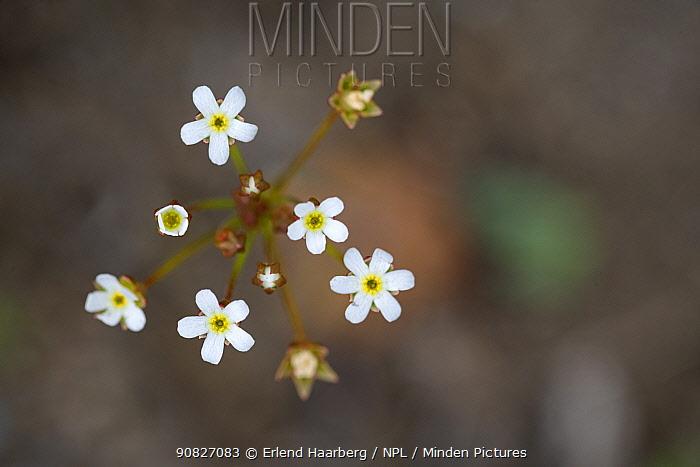 Pygmyflower rock jasmine (Androsace septentrionalis), Innlandet, Norway, June.