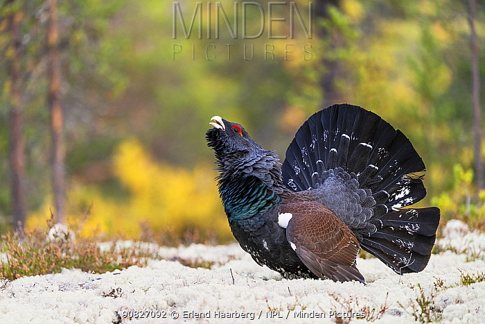 Capercaillie (Tetrao urogallus) male calling in autumn, Rondane, Norway, September.