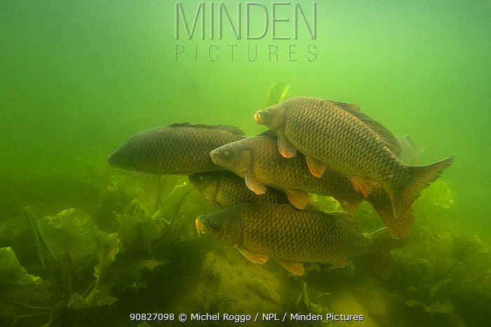 Carp (Cyprinus carpio), at spawning period, female with males over spawning ground in the middle of European white waterlily (Nymphaea alba), Lake Morat, close to Faoug, Canton of Fribourg, Switzerland, May.  Photographed for The Freshwater Project.