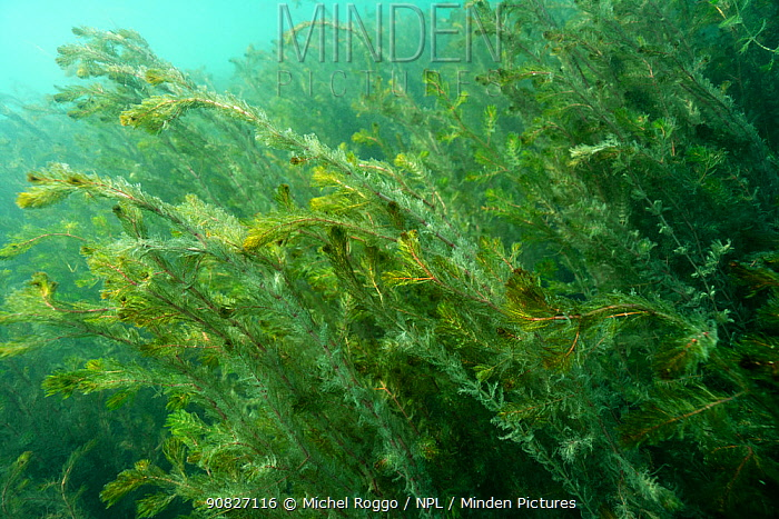 Watermilfoil (Myriophyllum spicatum) at the beginning of autumn, in a strong underwater current, Lake Neuchatel. Close to Boudry, Canton of Neuchatel, Switzerland, September.
