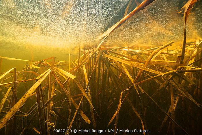 Reeds under the ice, water colour caused by dissolved tannins. Oxbow lake of the Vieille Thielle (Alte Zihl), close to Cressier, Canton of Neuchatel, Switzerland, January. Photographed for The Freshwater Project.