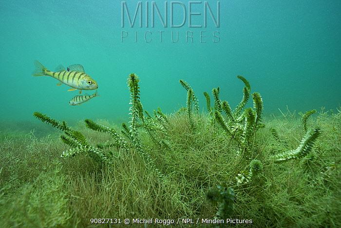 European perch (Perca fluviatilis) in Lake Neuchatel, close to Boudry, Canton of Neuchatel, Switzerland, September.