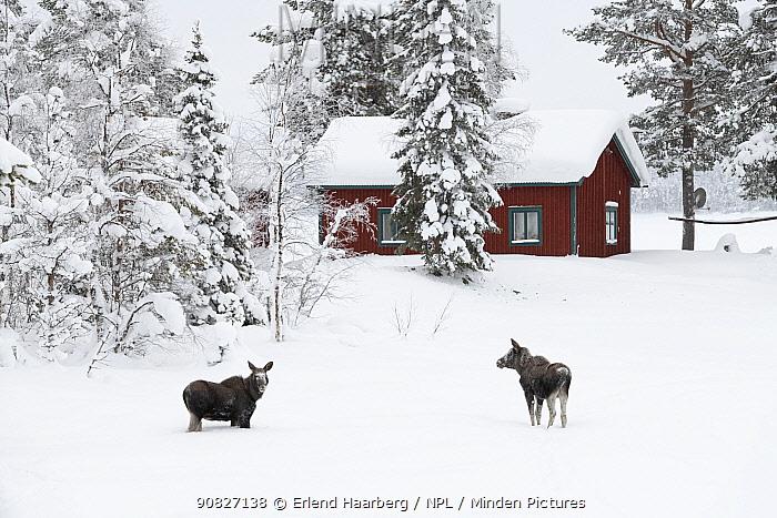 Moose (Alces alces), calves near house in winter, Jokkmokk, Sweden, February.