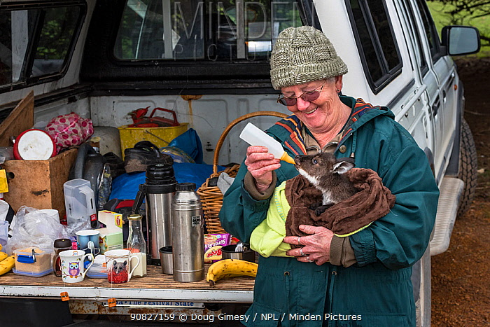Wildlife carer Sandy Carey taking an orphaned Kangaroo Island joey (Macropus fuliginosus fuliginosus) on a morning excursion and giving her a feed whilst the tea brews.? July, 2015. Grassdale, Kangaroo Island, South Australia. Editorial use only.