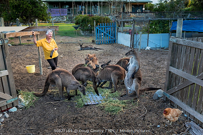 Wild Kangaroo Island Kangaroos (Macropus fuliginosus fuliginosus) gathering at the back gate of animal rescuer Sandy Carey's house for a free breakfast with her chicken. Some of these kangaroos are known well by the carer, as she has been caring for injured and orphaned joeys for over 20 years. Others are newcomers that randomly join their friends, somehow knowing that breakfast is available in a safe and caring environment. Penneshaw, Kangaroo Island, South Australia, Australia. January, 2016. Editorial use only.