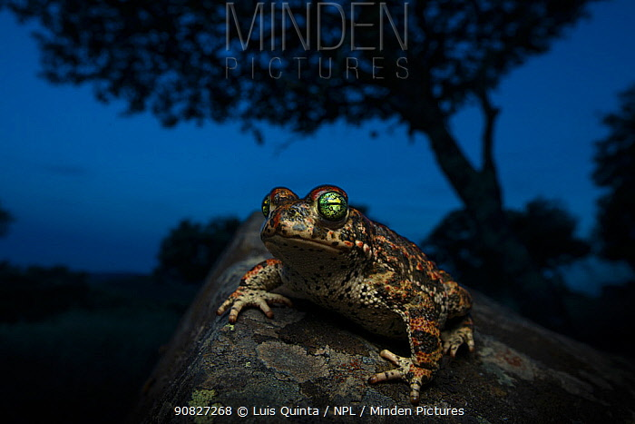 Natterjack Toad (Epidalea calamita) at night, with Holm oak (Quercus ilex) Alentejo, Portugal.