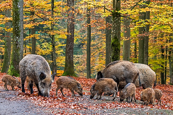 Wild boar (Sus scrofa) group with piglets foraging in autumn forest, Ardennes, Belgium. November