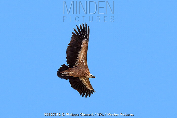 Griffon vulture / Eurasian griffon (Gyps fulvus) in flight, soaring against blue sky, Provence, France, September