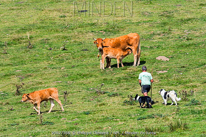 Herdsman with two border collies herding Limousin cattle herd in Alpine pasture in the French Pyrenees, France, September