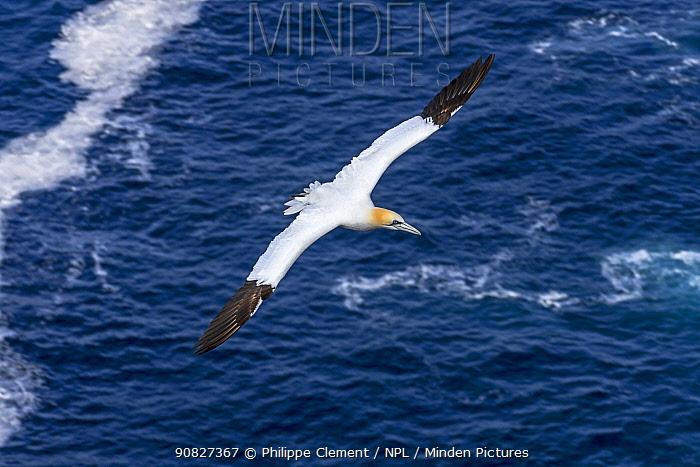 Northern gannet (Morus bassanus) in flight soaring over the ocean along the Scottish coast, Scotland, UK, May