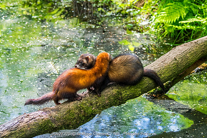 Two European polecats (Mustela putorius) male and female crossing water of pond / stream over fallen tree. Captive