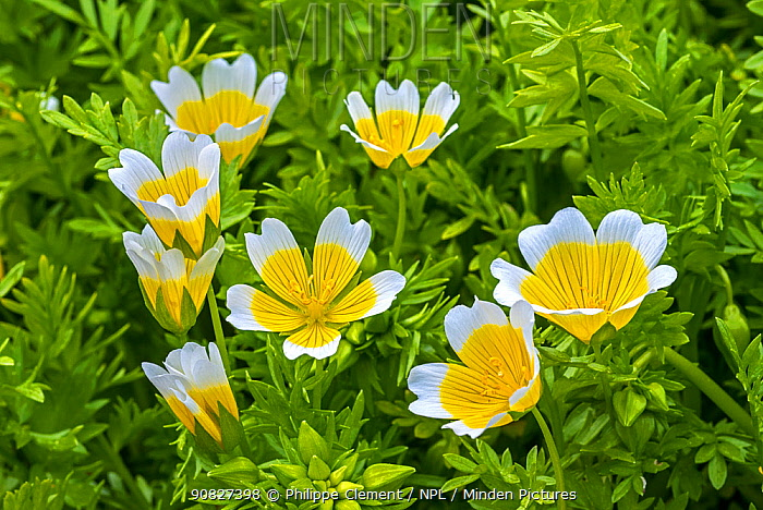 Douglas' meadowfoam / poached egg plant (Limnanthes douglasii) in flower, native to California and Oregon. May