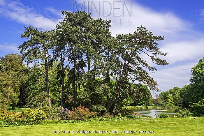 Austrian pine / black pines (Pinus nigra subsp. nigra) coniferous evergreen tree in park, native to Austria. May