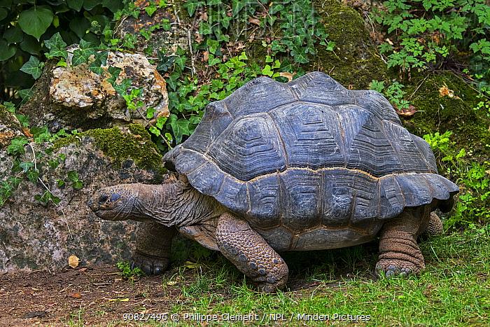 Aldabra giant tortoise (Aldabrachelys gigantea / Testudo gigantea) native to the islands of the Aldabra Atoll in the Seychelles. Captive