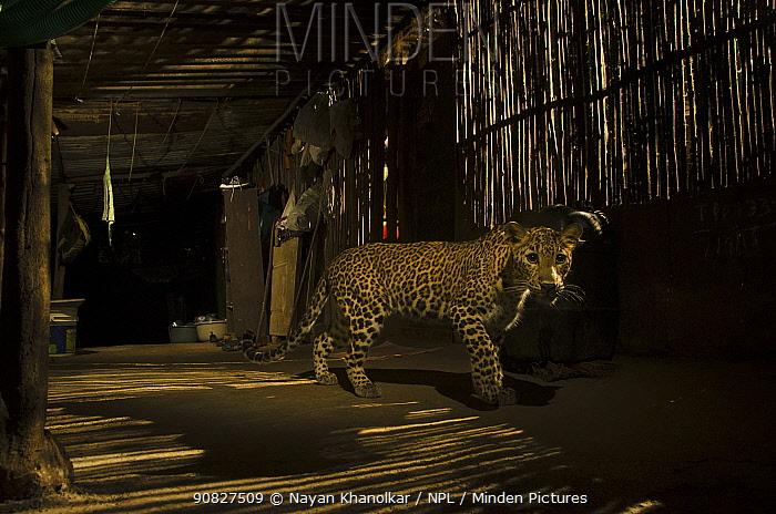 Leopard (Panthera pardus) in city at night, Mumbai, India. December 2018.