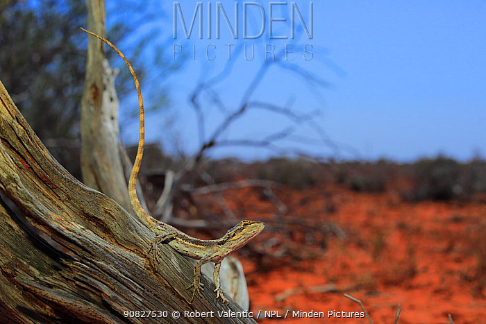 Western Bearded Dragon (Pogona minor) subadult basking on a mulga branch near Carnarvon, Western Australia.